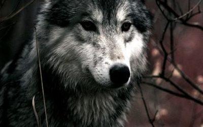 Quo vadis Wolf?